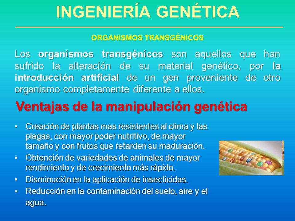 ORGANISMOS TRANSGÉNICOS Ventajas de la manipulación genética