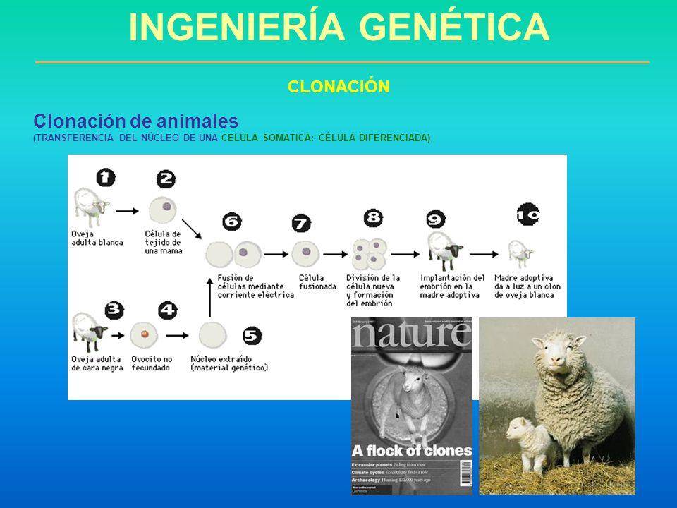 INGENIERÍA GENÉTICA Clonación de animales CLONACIÓN