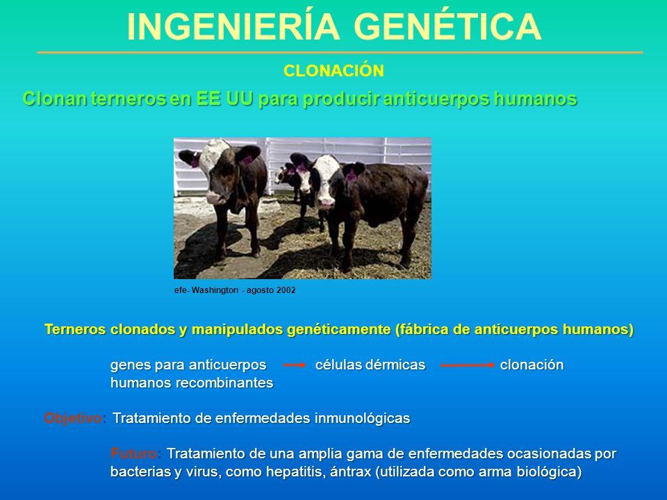 INGENIERÍA GENÉTICA CLONACIÓN. Clonan terneros en EE UU para producir anticuerpos humanos. efe- Washington - agosto 2002