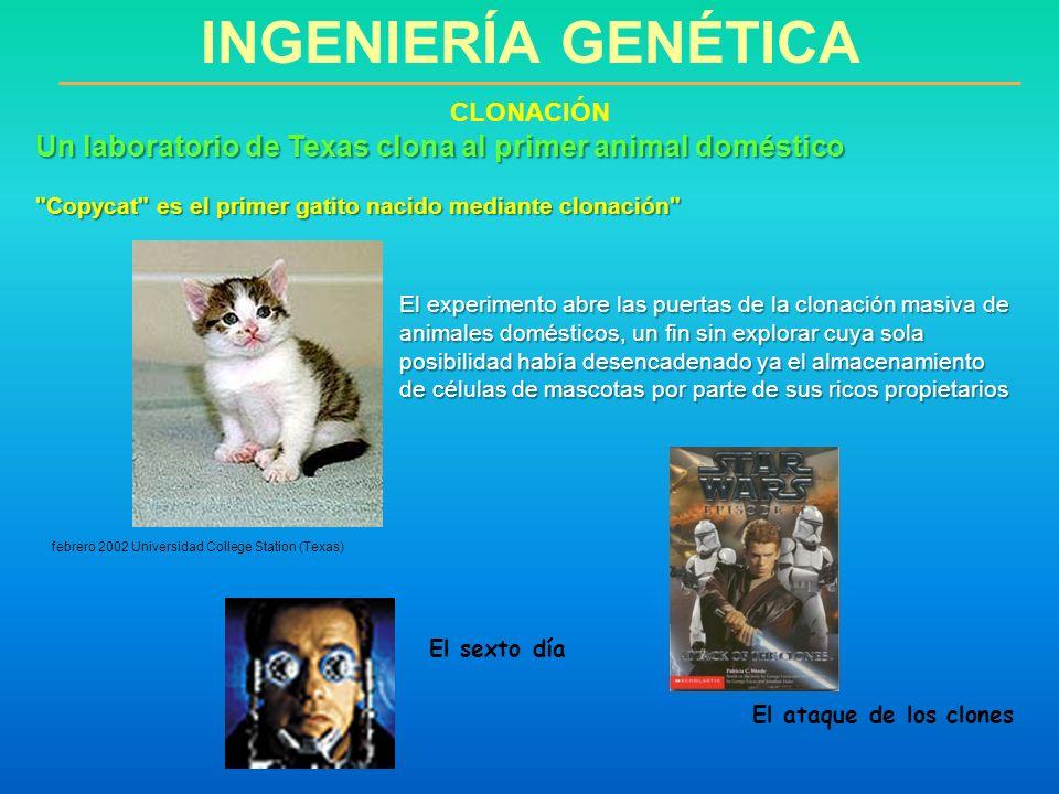 INGENIERÍA GENÉTICA CLONACIÓN. Un laboratorio de Texas clona al primer animal doméstico. Copycat es el primer gatito nacido mediante clonación