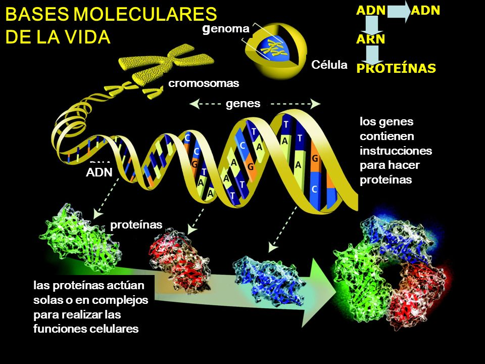 BASES MOLECULARES DE LA VIDA ADN ADN ARN genoma PROTEÍNAS Célula