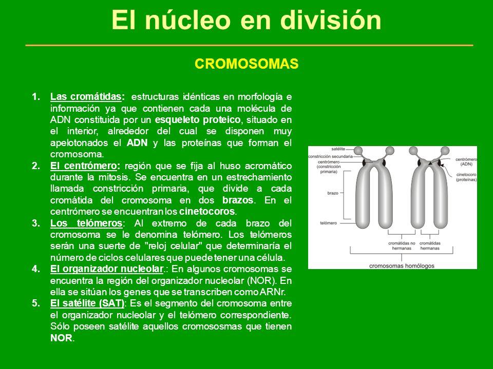 El núcleo en división CROMOSOMAS