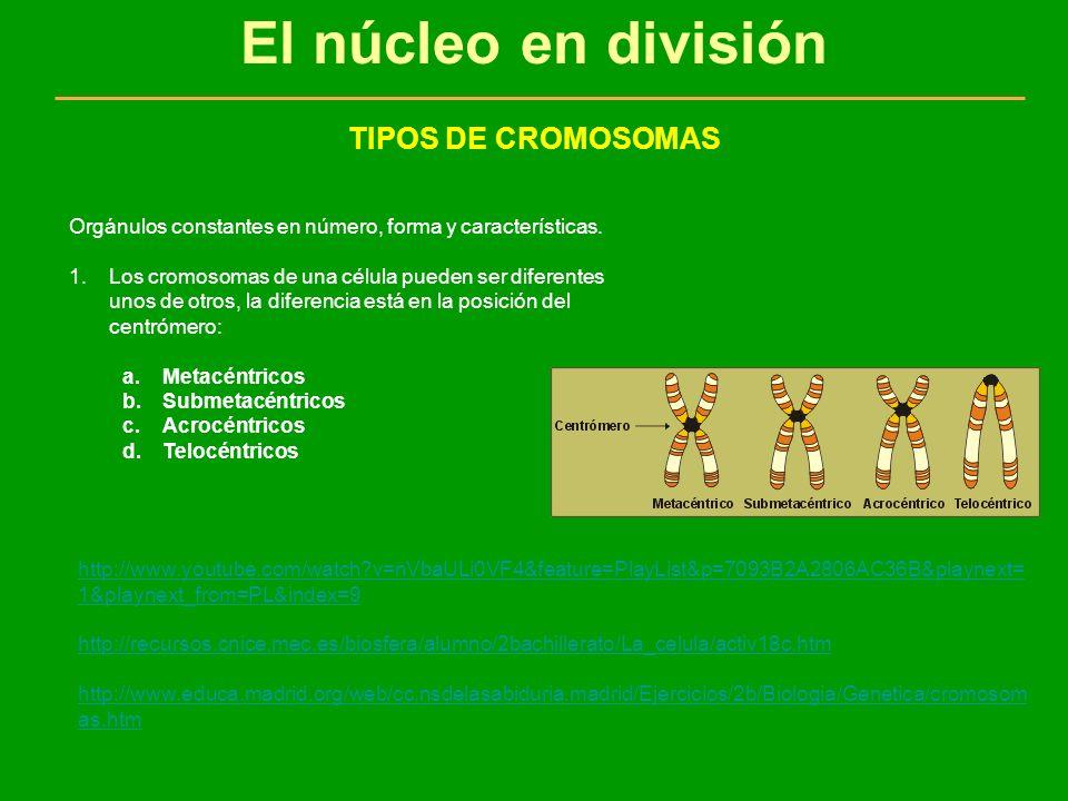 El núcleo en división TIPOS DE CROMOSOMAS