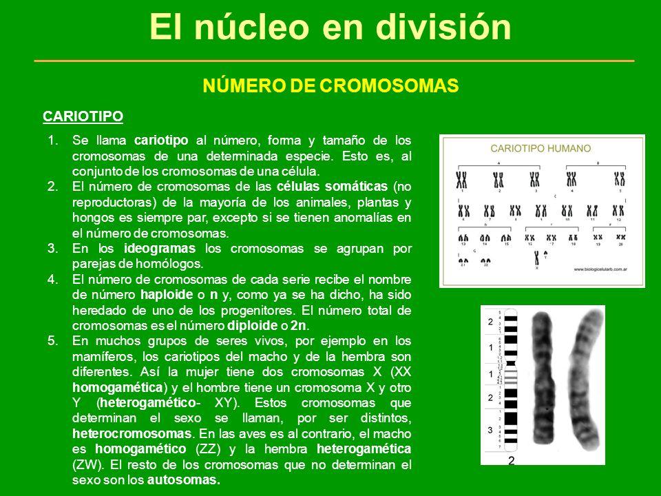 El núcleo en división NÚMERO DE CROMOSOMAS CARIOTIPO