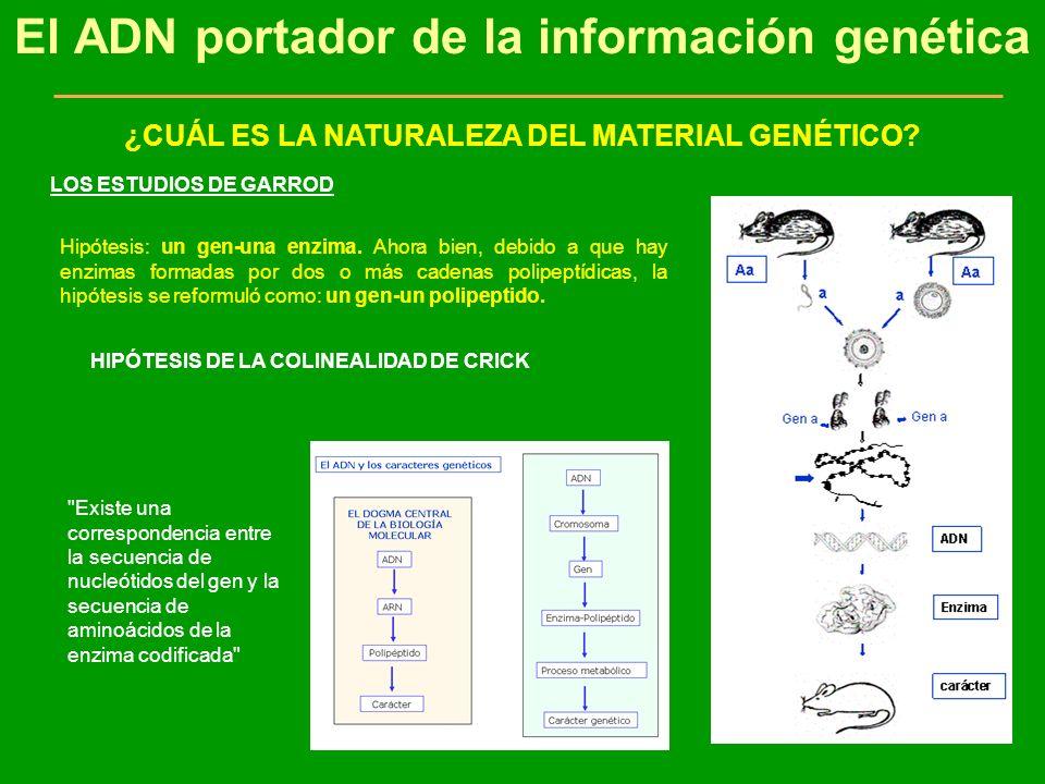 El ADN portador de la información genética