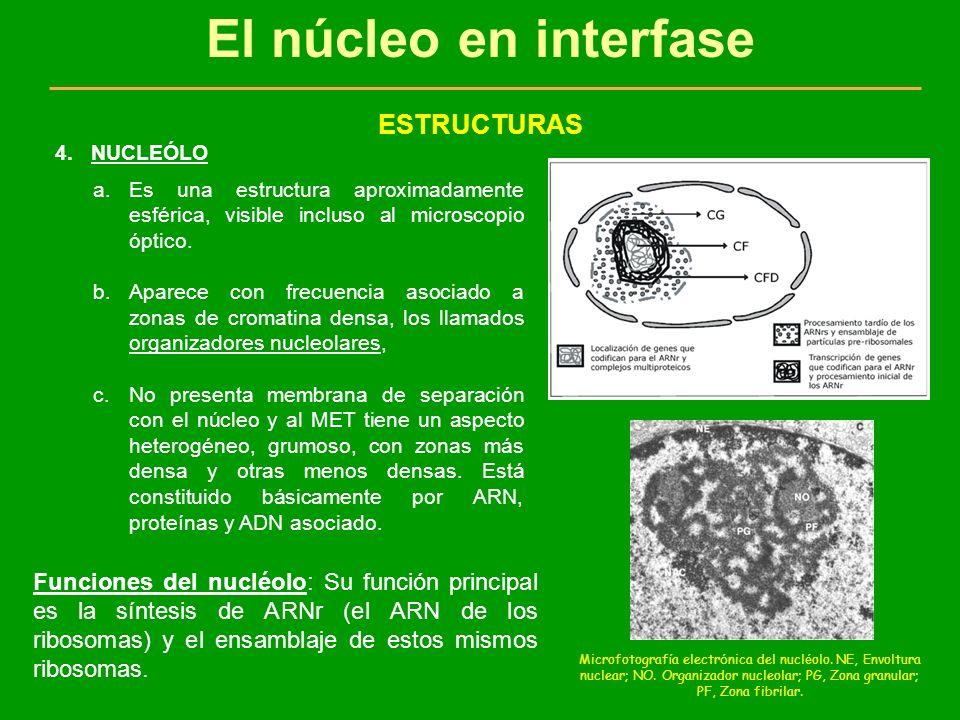 El núcleo en interfase ESTRUCTURAS