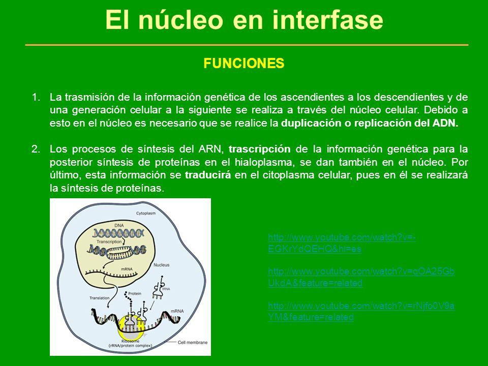 El núcleo en interfase FUNCIONES