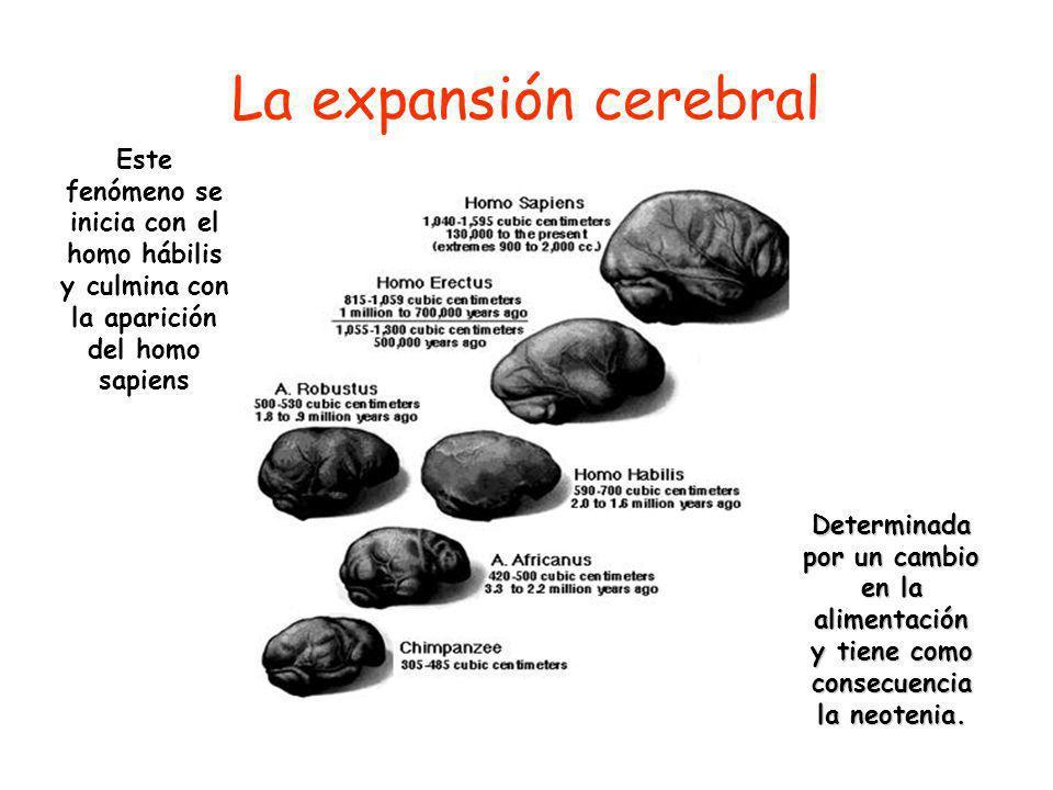 La expansión cerebral Este fenómeno se inicia con el homo hábilis y culmina con la aparición del homo sapiens.