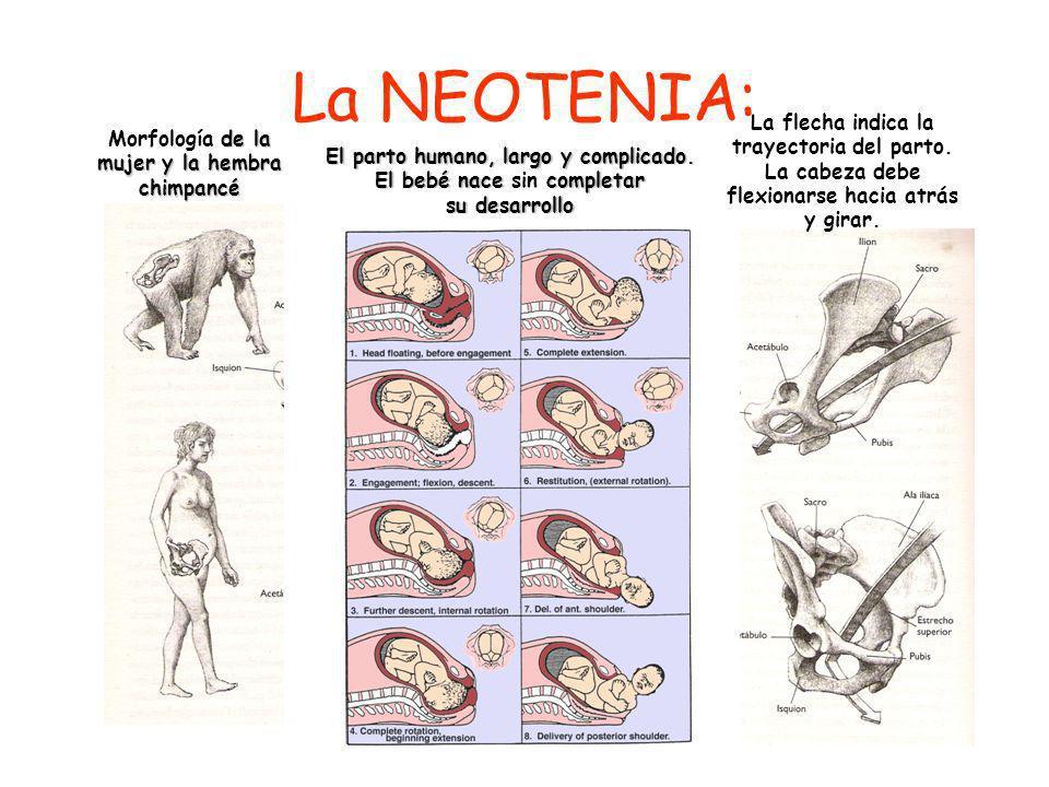 La NEOTENIA: La flecha indica la trayectoria del parto. La cabeza debe flexionarse hacia atrás y girar.