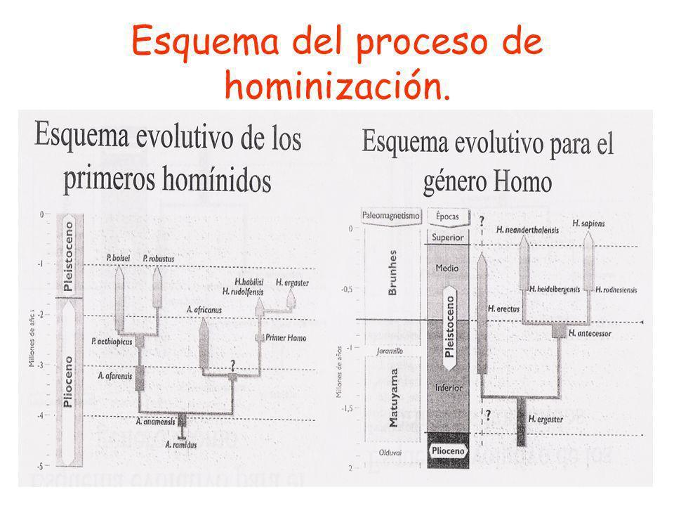 Esquema del proceso de hominización.