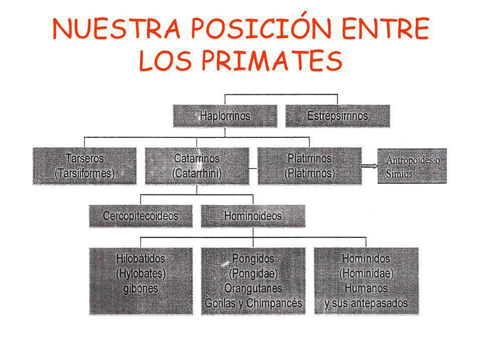 NUESTRA POSICIÓN ENTRE LOS PRIMATES