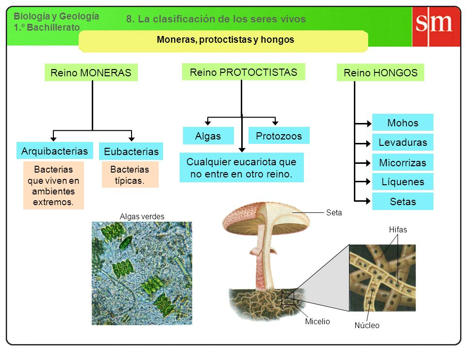 8. La clasificación de los seres vivos Moneras, protoctistas y hongos