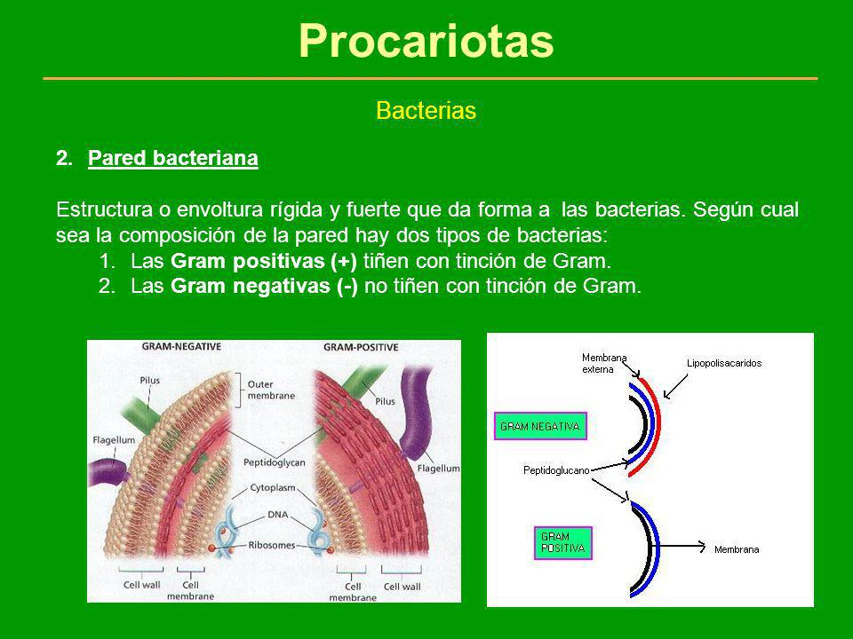 Procariotas Bacterias Pared bacteriana
