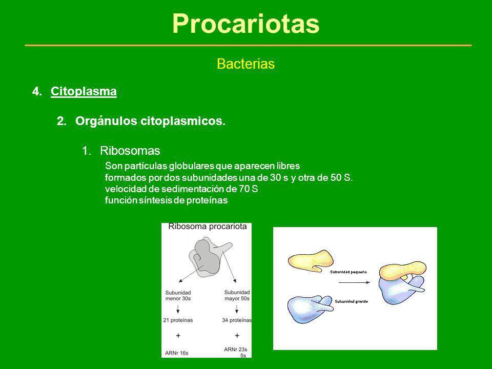 Procariotas Bacterias Citoplasma Orgánulos citoplasmicos. Ribosomas
