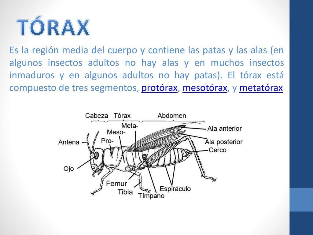 Magnífico Anatomía De Un Insecto De La Píldora Composición ...