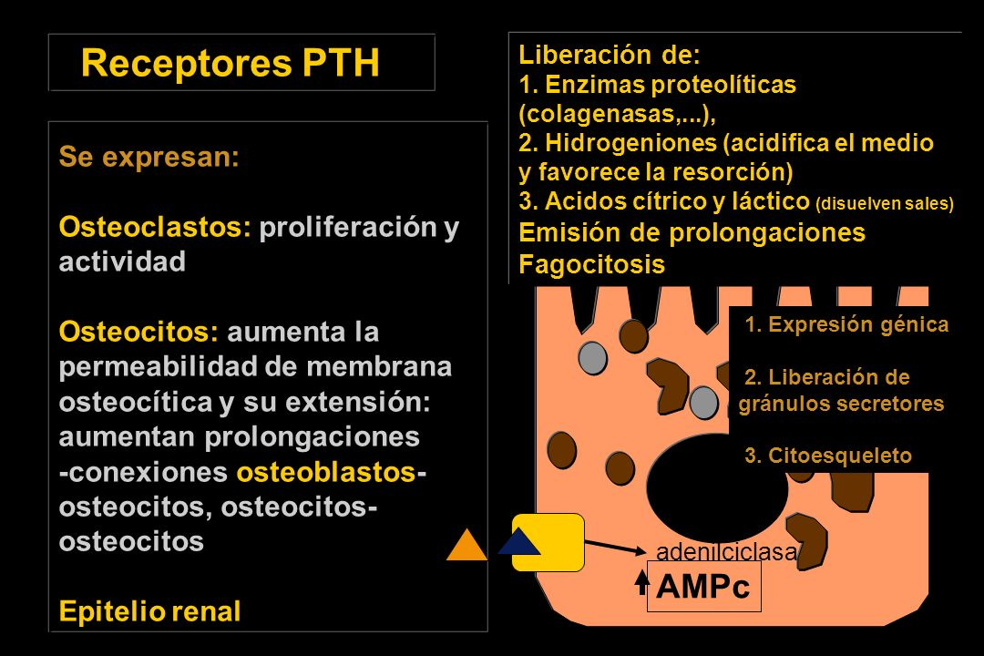 Receptores PTH AMPc Se expresan: