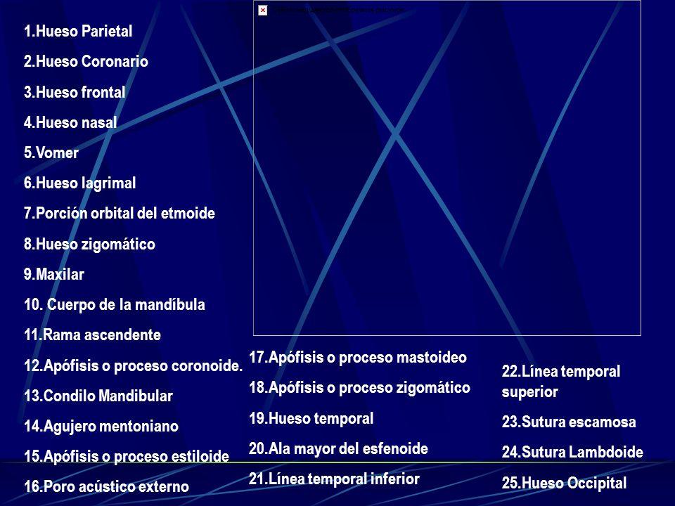 1.Hueso Parietal 2.Hueso Coronario. 3.Hueso frontal. 4.Hueso nasal. 5.Vomer. 6.Hueso lagrimal. 7.Porción orbital del etmoide.