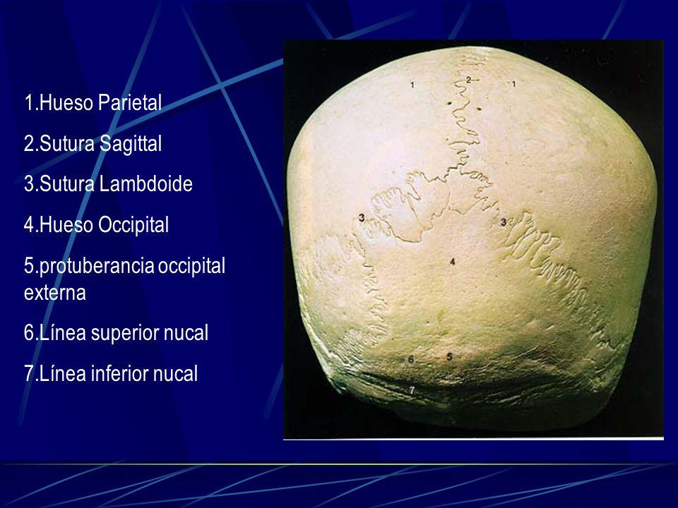 1.Hueso Parietal 2.Sutura Sagittal. 3.Sutura Lambdoide. 4.Hueso Occipital. 5.protuberancia occipital externa.