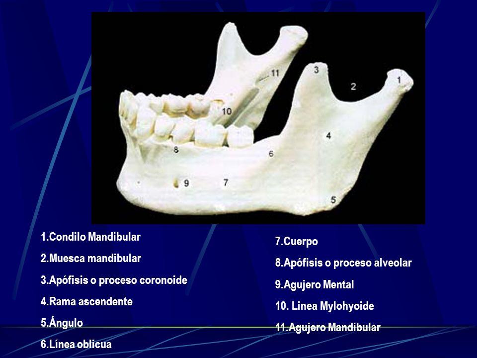 1.Condilo Mandibular 2.Muesca mandibular. 3.Apófisis o proceso coronoide. 4.Rama ascendente. 5.Ángulo.