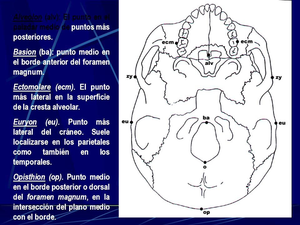 Alveolon (alv): El punto en el paladar medio de puntos más posteriores.