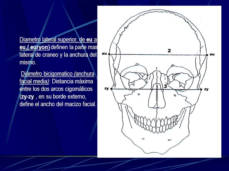 Diametro lateral superior, de eu a eu,( euryon) definen la parte mas lateral de craneo y la anchura del mismo.