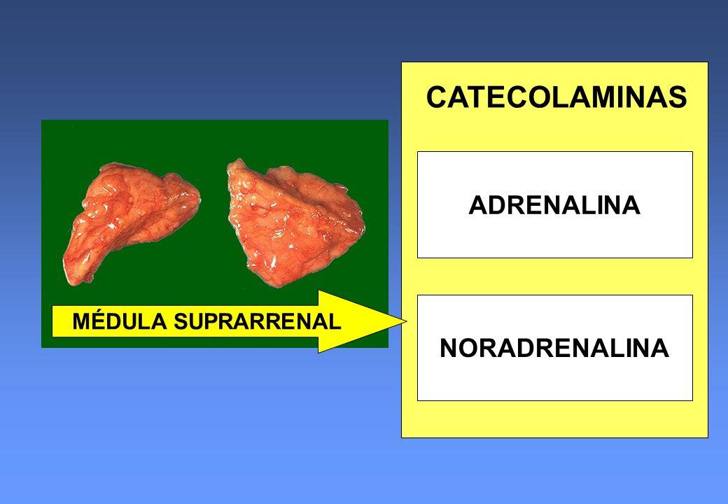 CATECOLAMINAS ADRENALINA MÉDULA SUPRARRENAL NORADRENALINA