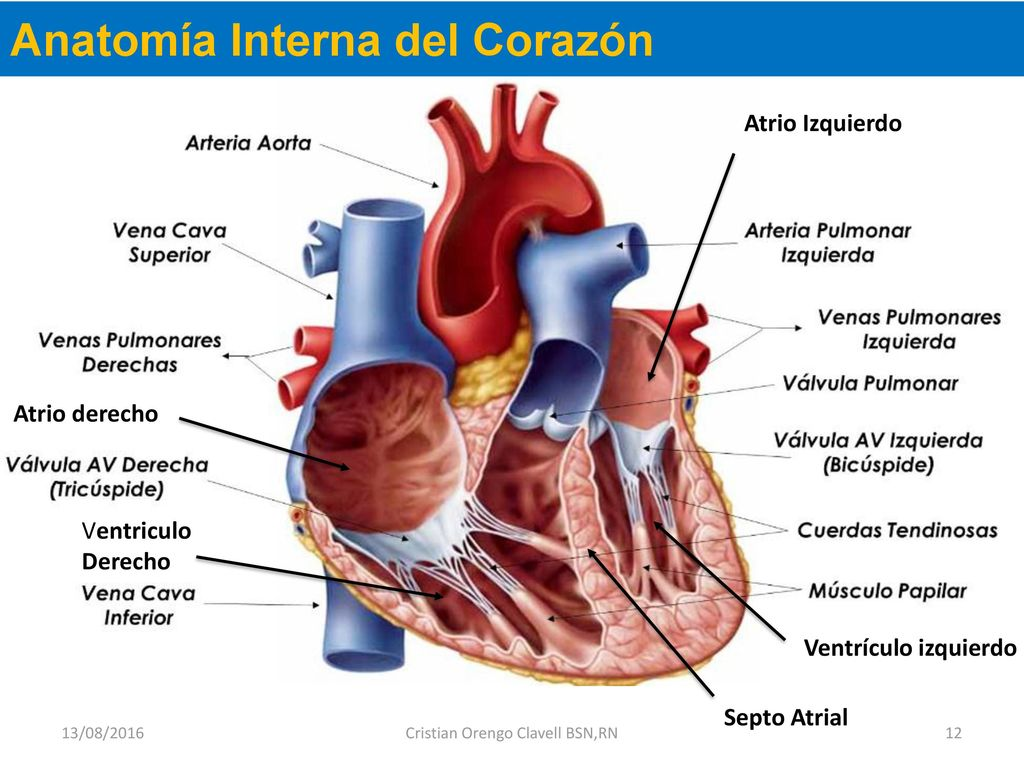 Asombroso Anatomía Interna De Un Cerdo Fetal Marcado Foto - Anatomía ...