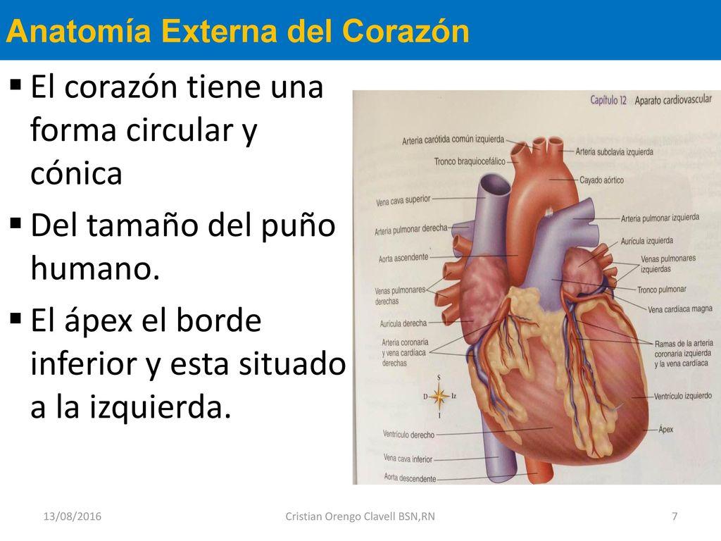 Fantástico Cerdo Fetal Anatomía Externa Ilustración - Anatomía de ...