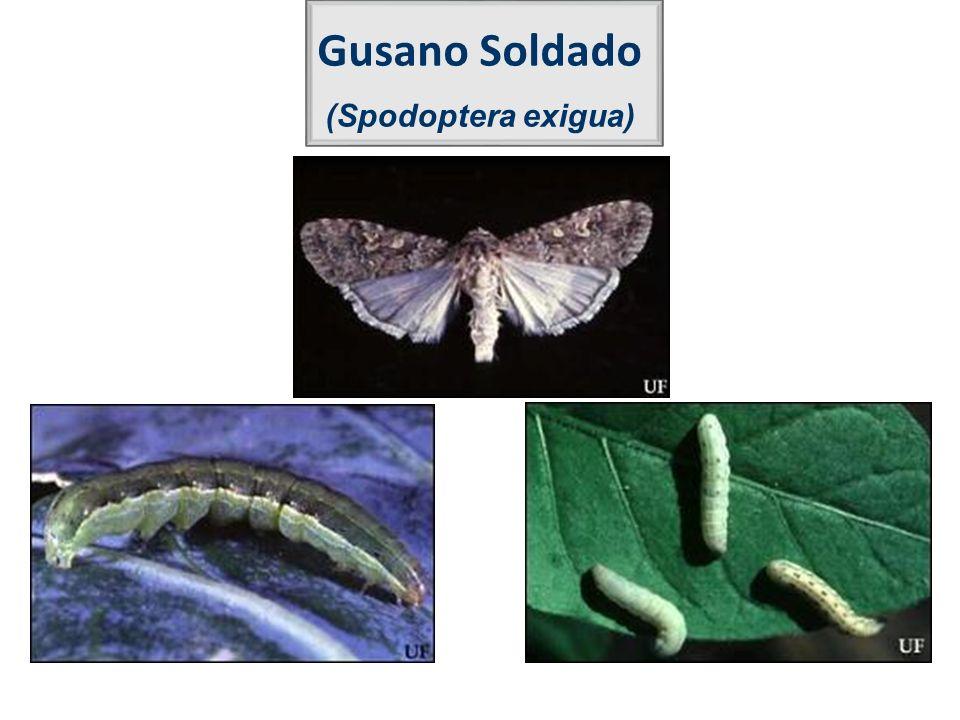 Gusano Soldado (Spodoptera exigua)
