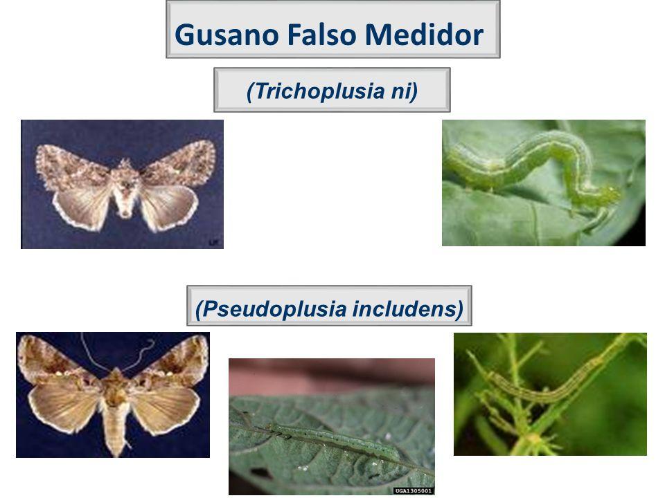 (Pseudoplusia includens)
