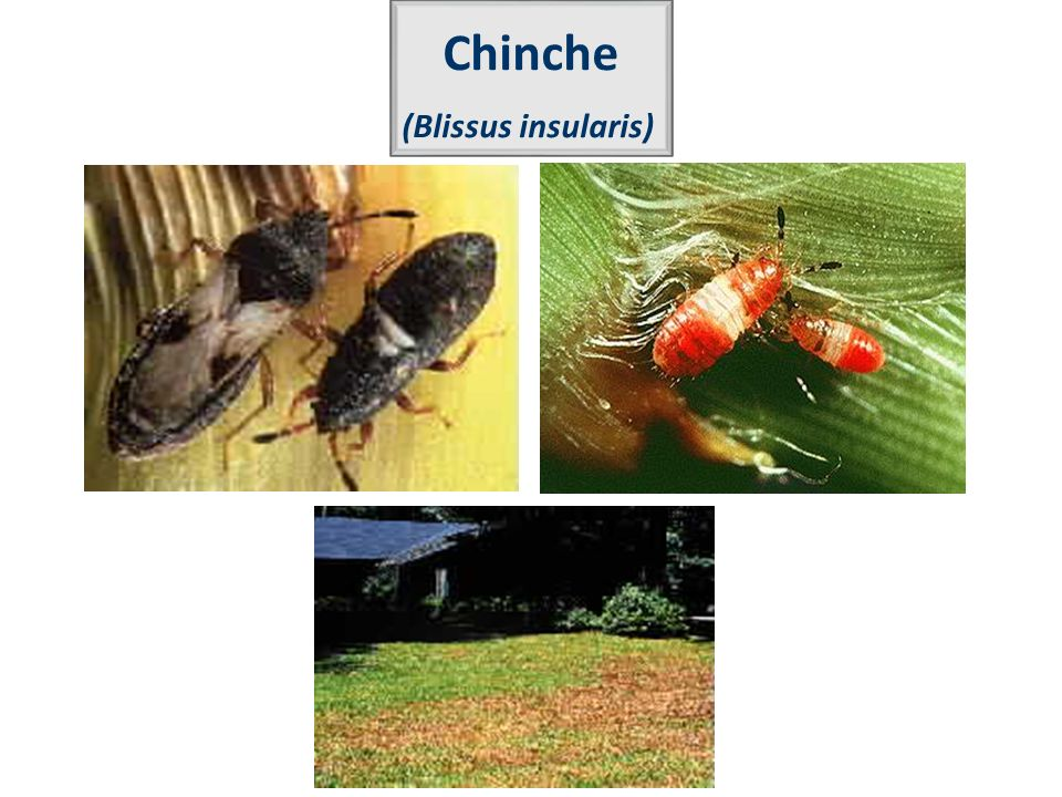 Chinche (Blissus insularis)