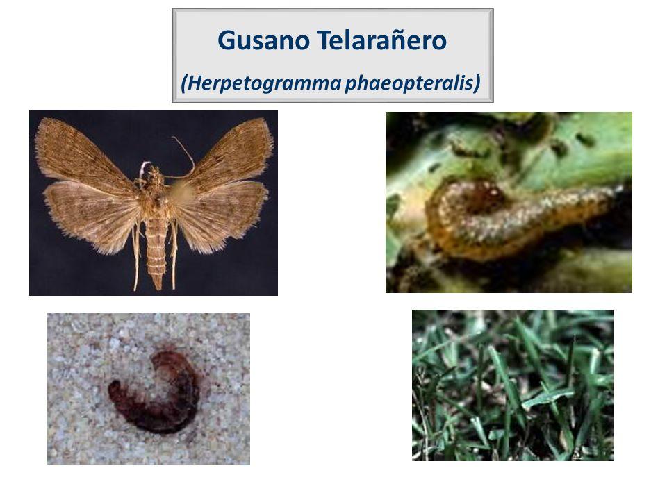 (Herpetogramma phaeopteralis)