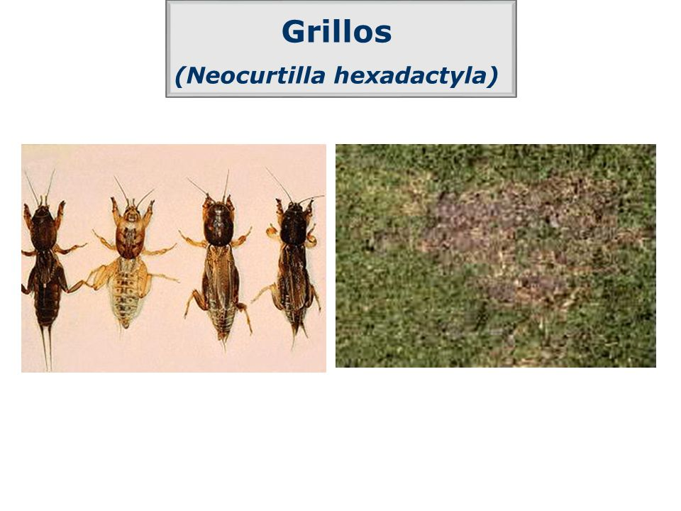 (Neocurtilla hexadactyla)