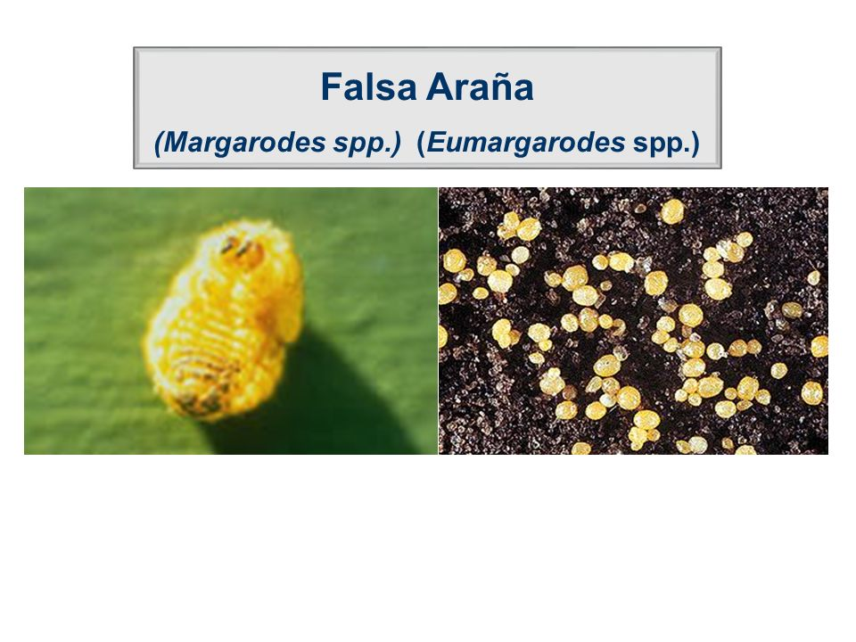 (Margarodes spp.) (Eumargarodes spp.)