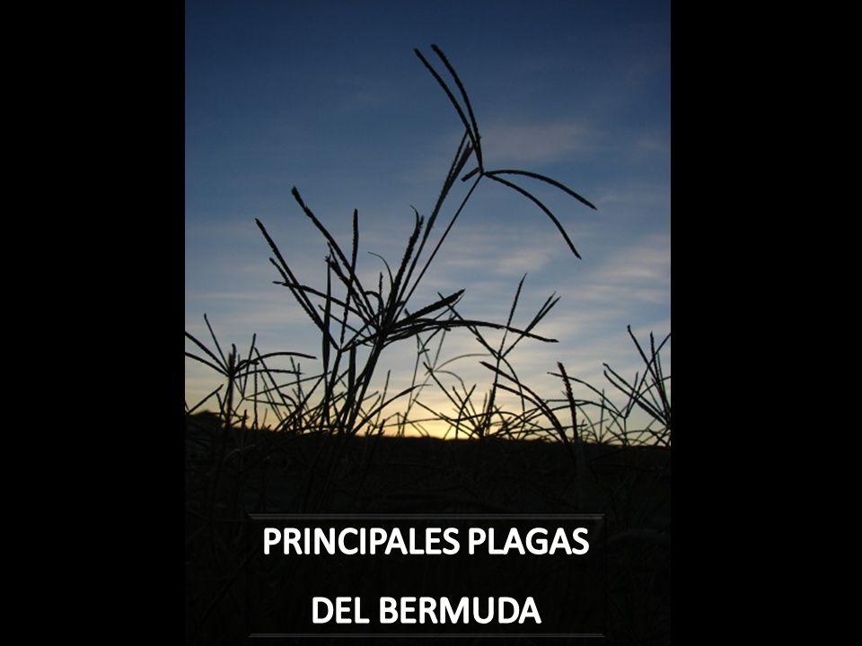 PRINCIPALES PLAGAS DEL BERMUDA