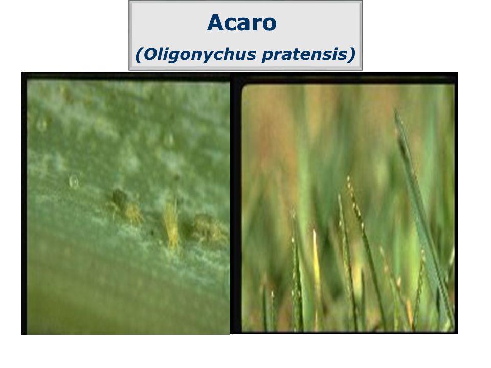 (Oligonychus pratensis)