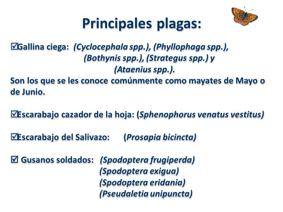 Principales plagas: Gallina ciega: (Cyclocephala spp.), (Phyllophaga spp.), (Bothynis spp.), (Strategus spp.) y (Ataenius spp.).