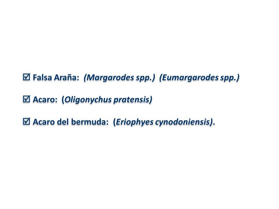  Falsa Araña: (Margarodes spp.) (Eumargarodes spp.)