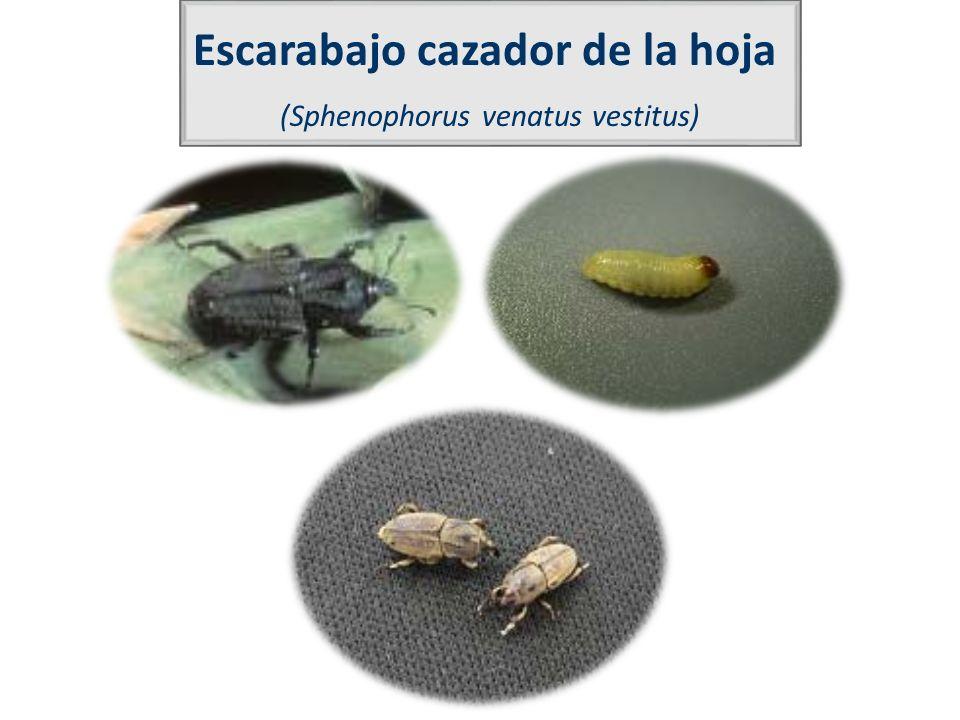 Escarabajo cazador de la hoja