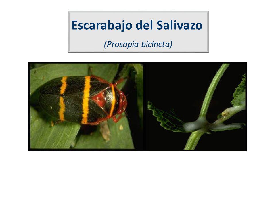 Escarabajo del Salivazo