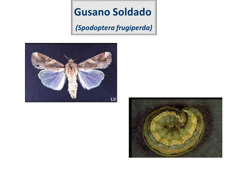 (Spodoptera frugiperda)