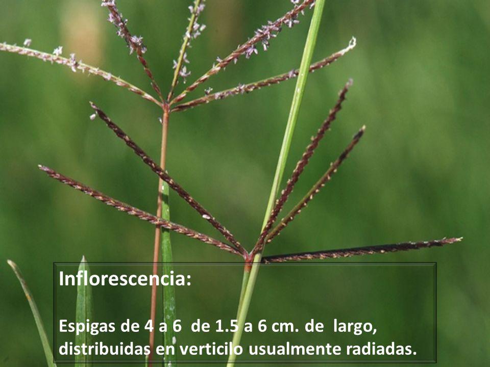 Inflorescencia:Espigas de 4 a 6 de 1.5 a 6 cm.