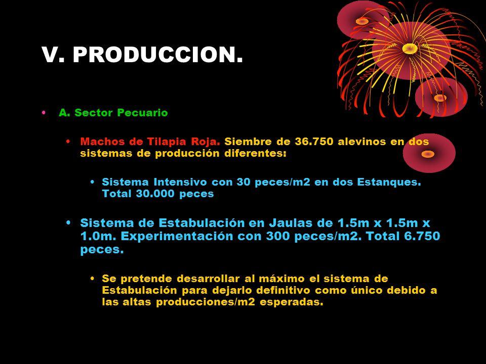 V. PRODUCCION. A. Sector Pecuario. Machos de Tilapia Roja. Siembre de 36.750 alevinos en dos sistemas de producción diferentes: