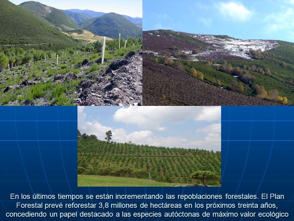 En los últimos tiempos se están incrementando las repoblaciones forestales.