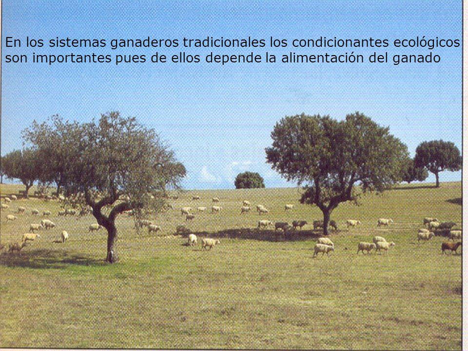 En los sistemas ganaderos tradicionales los condicionantes ecológicos son importantes pues de ellos depende la alimentación del ganado