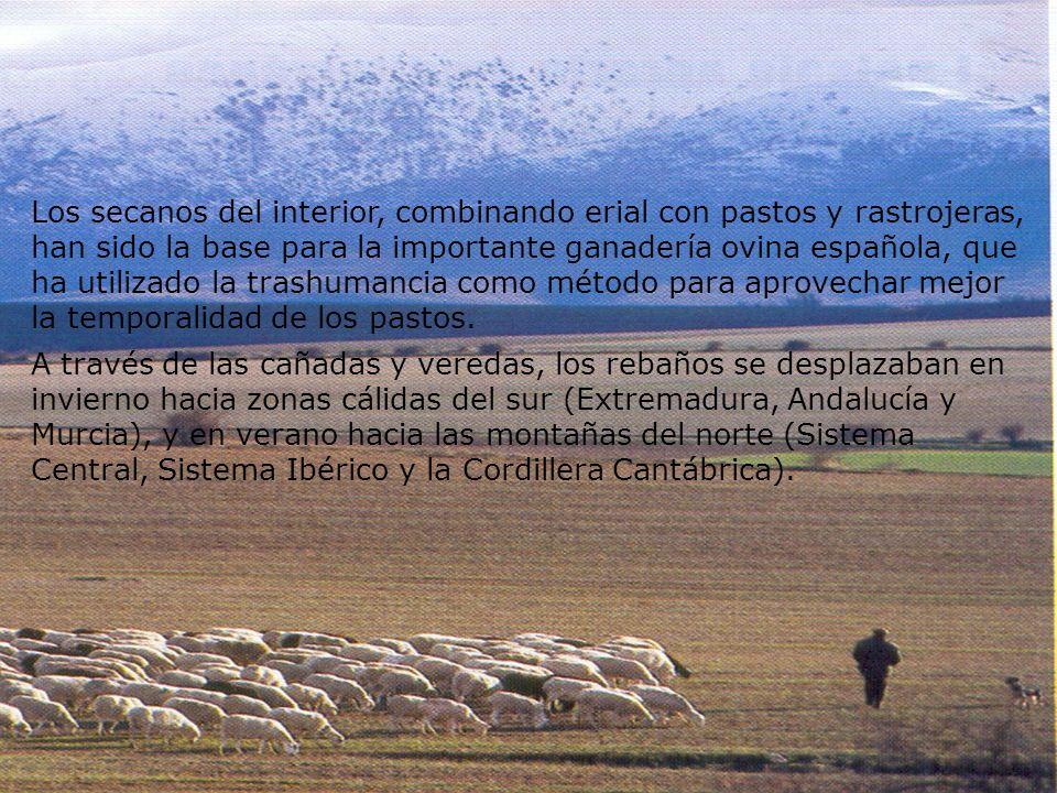 Los secanos del interior, combinando erial con pastos y rastrojeras, han sido la base para la importante ganadería ovina española, que ha utilizado la trashumancia como método para aprovechar mejor la temporalidad de los pastos.