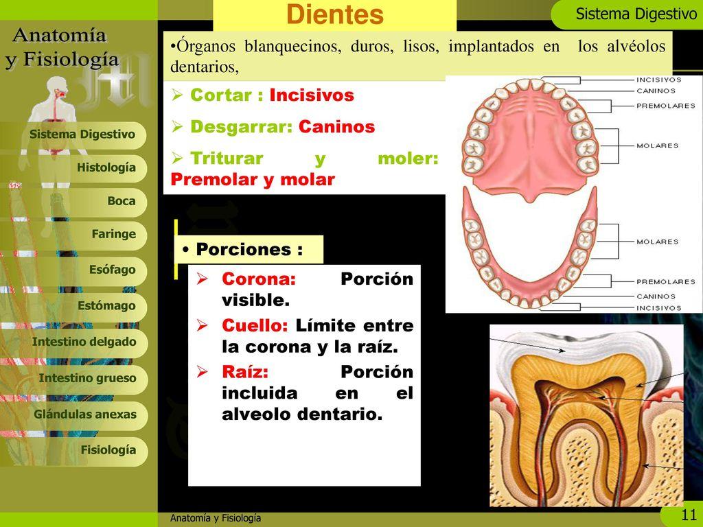 Asombroso Es La Anatomía Duro Imagen - Imágenes de Anatomía Humana ...