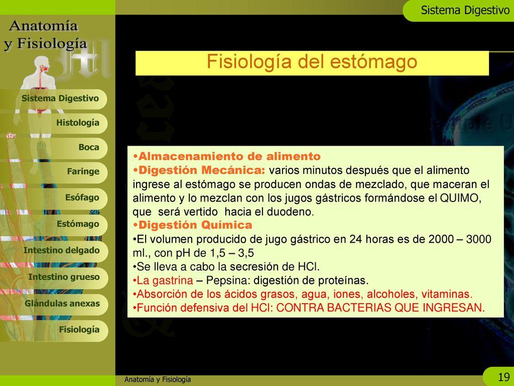 Asombroso Estómago Anatomía Suministro De Sangre Ideas - Imágenes de ...