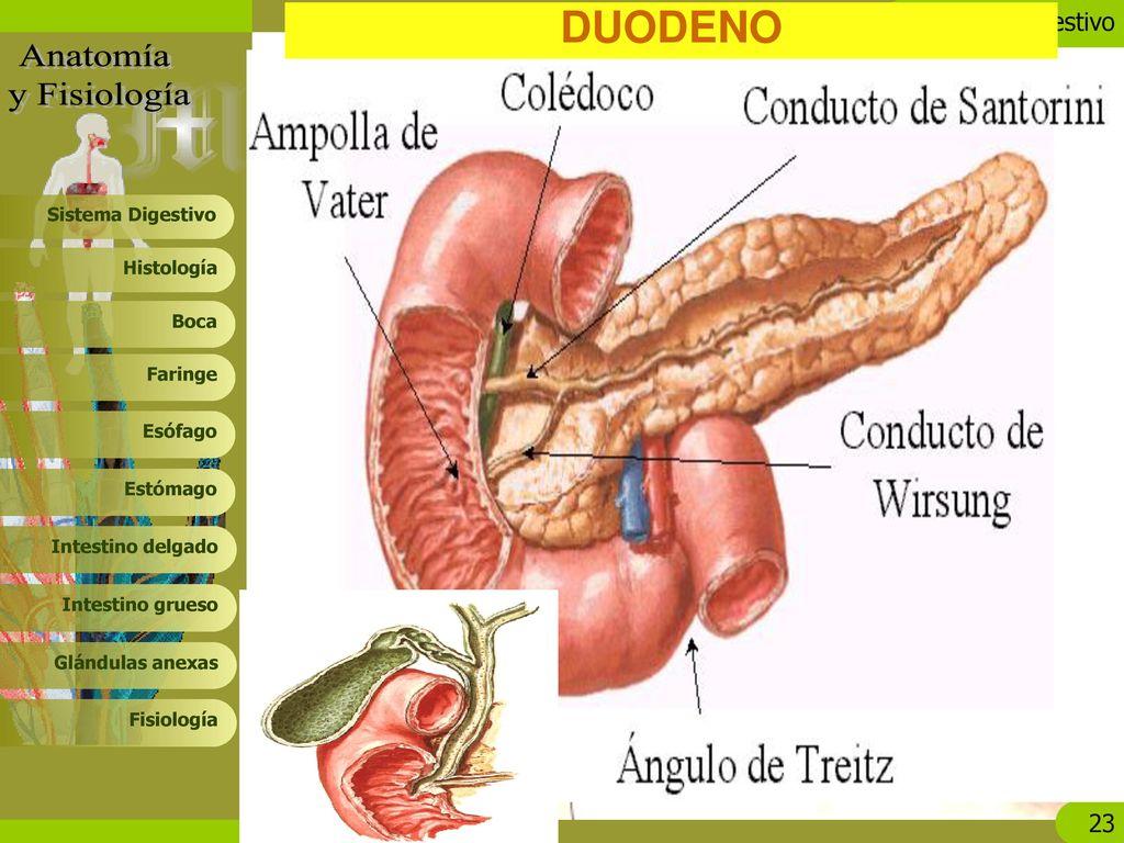 Magnífico Anatomía Y Fisiología Del Sistema Digestivo Ppt Ideas ...