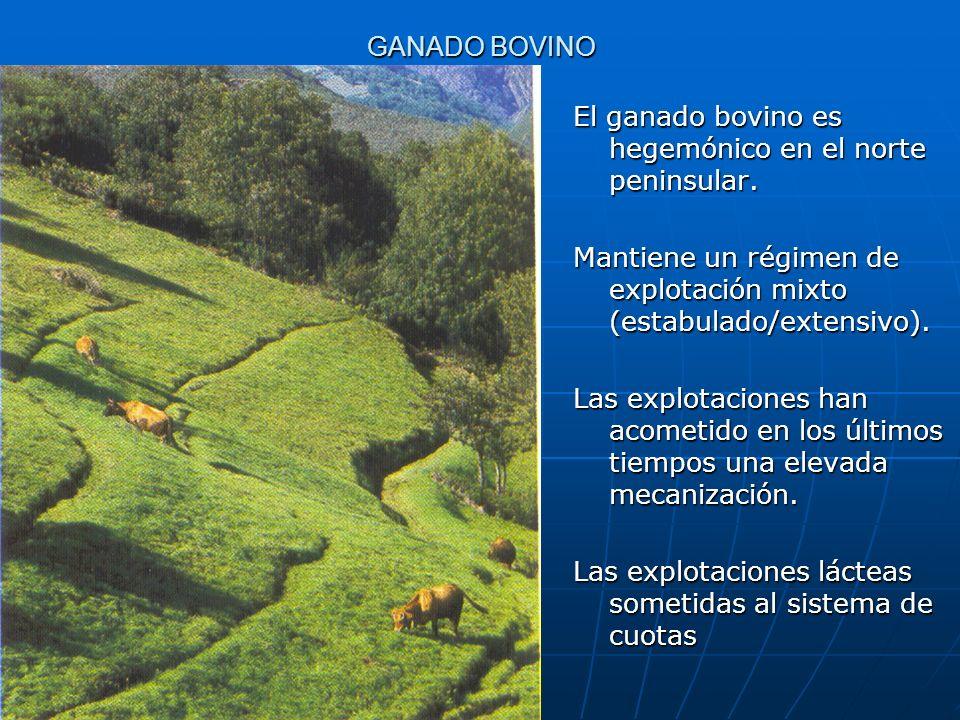 GANADO BOVINO El ganado bovino es hegemónico en el norte peninsular. Mantiene un régimen de explotación mixto (estabulado/extensivo).